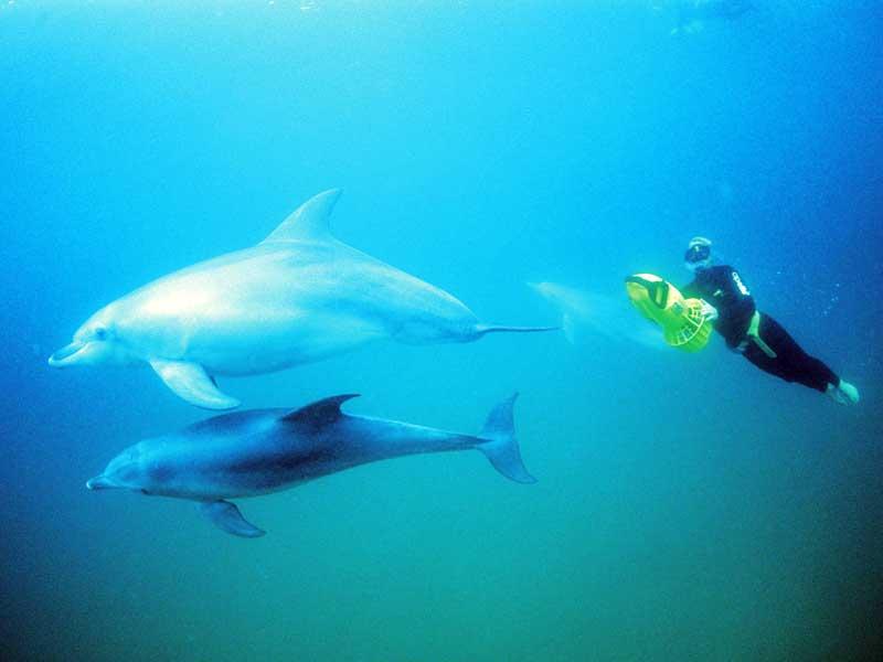 Simma med delfiner - Destination Australien