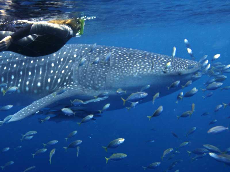 Simma med valhajar vid Ningaloo Reef - Destination Australien